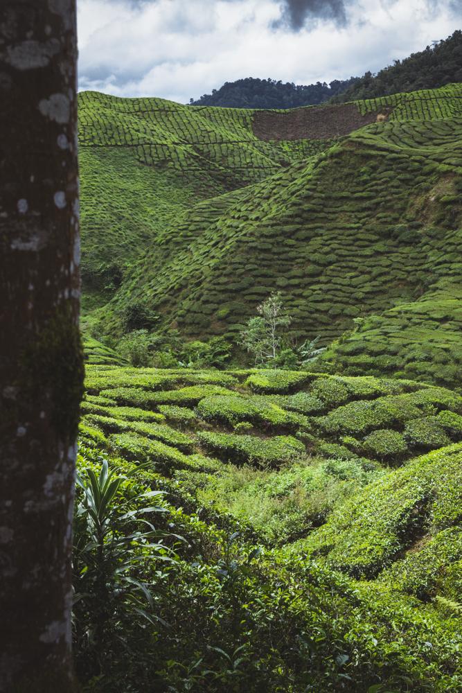 DSC_0032_cameron_highlands_malaysia