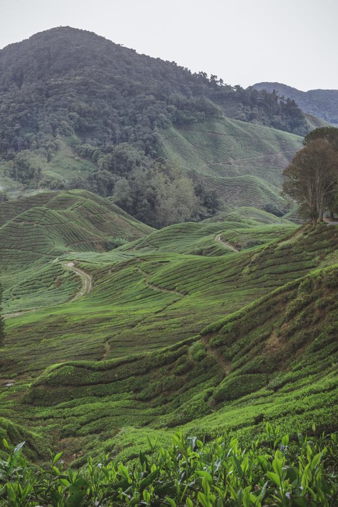 DSC_0988_cameron_highlands_malaysia