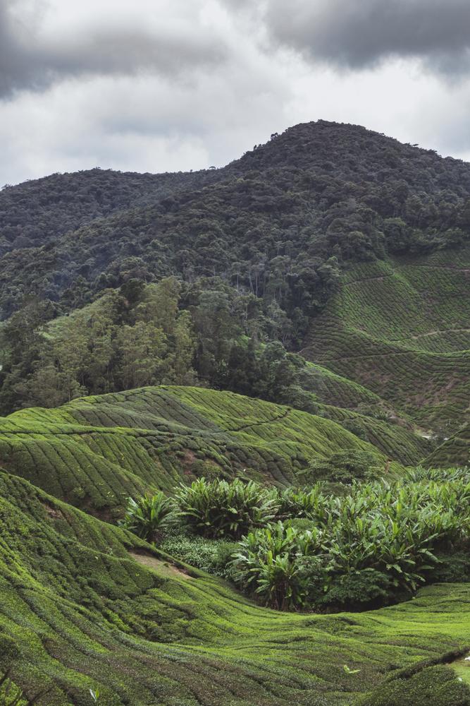 DSC_1005_cameron_highlands_malaysia