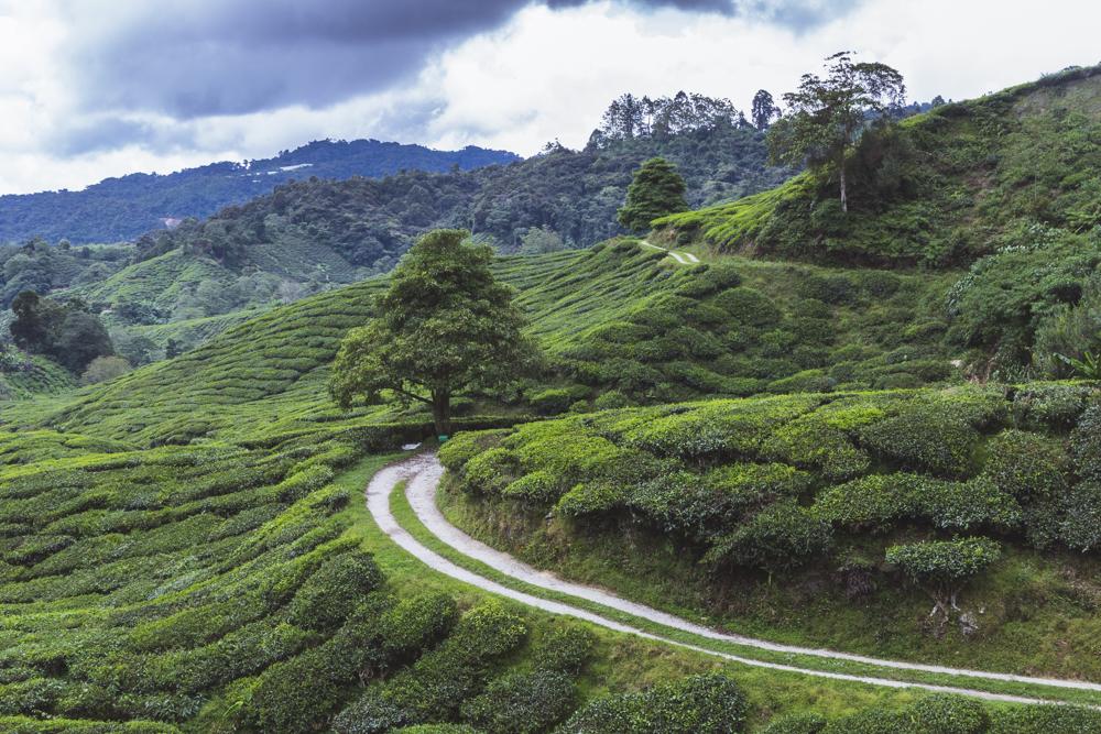 DSC_1020_cameron_highlands_malaysia