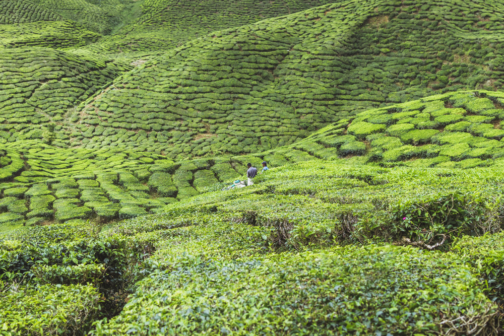 DSC_1044_cameron_highlands_malaysia